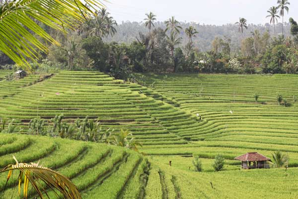 Rice Terrace Belimbing Trekking view